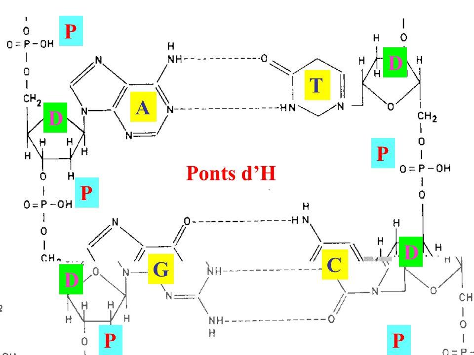 Complementarietat bases 1 Ponts dH A C G T D D D D P P P P P