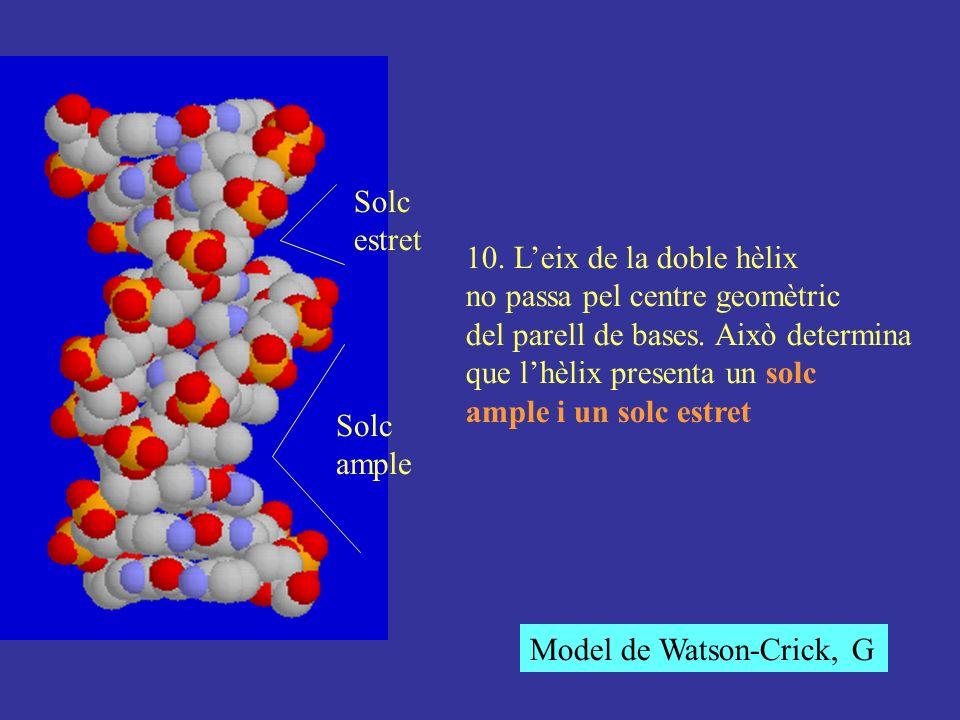 10. Leix de la doble hèlix no passa pel centre geomètric del parell de bases. Això determina que lhèlix presenta un solc ample i un solc estret Solc a