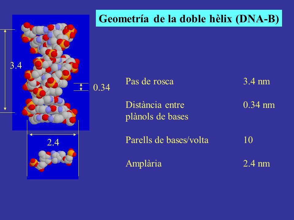 Pas de rosca3.4 nm Distància entre 0.34 nm plànols de bases Parells de bases/volta10 Amplària2.4 nm Geometría de la doble hèlix (DNA-B) 0.34 3.4 2.4