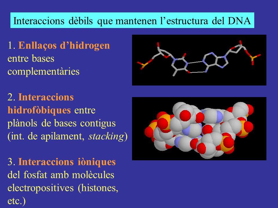 Interaccions dèbils que mantenen lestructura del DNA 1. Enllaços dhidrogen entre bases complementàries 2. Interaccions hidrofòbiques entre plànols de