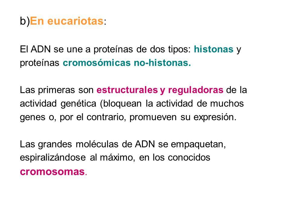 b)En eucariotas : El ADN se une a proteínas de dos tipos: histonas y proteínas cromosómicas no-histonas. Las primeras son estructurales y reguladoras
