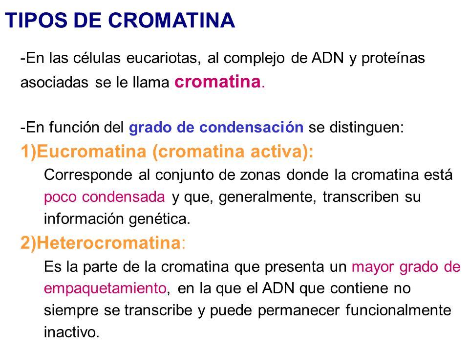 TIPOS DE CROMATINA -En las células eucariotas, al complejo de ADN y proteínas asociadas se le llama cromatina. -En función del grado de condensación s