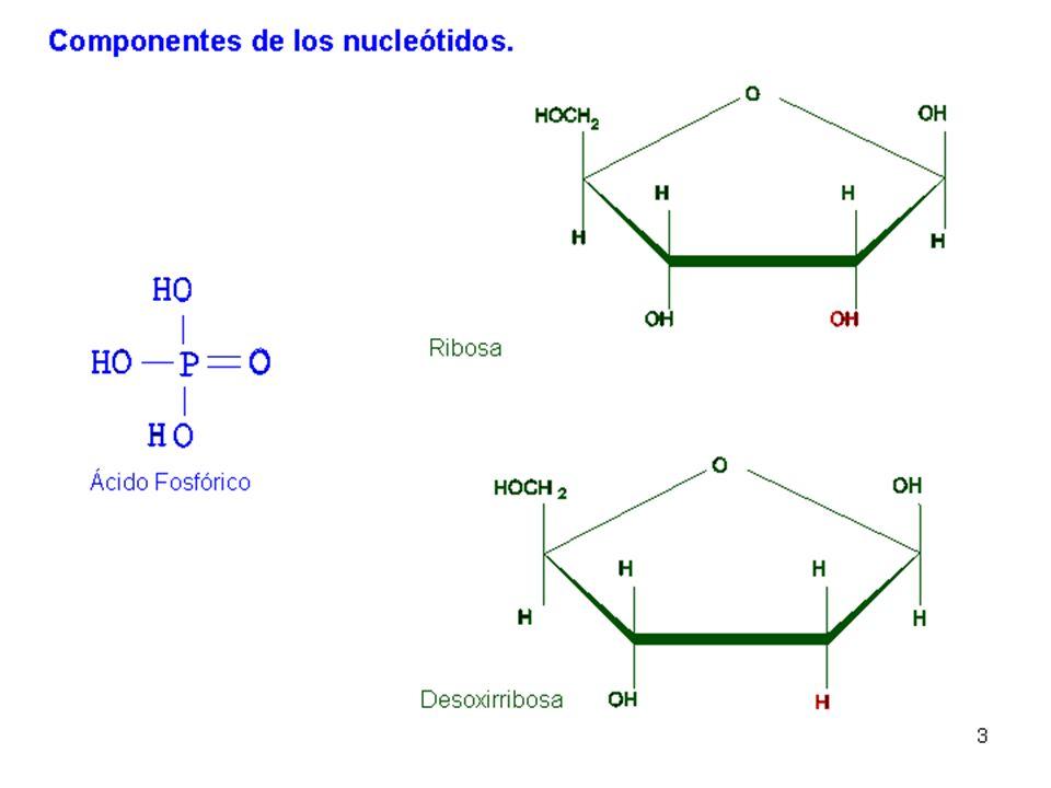 - La base nitrogenada siempre se une al C1 de la pentosa para formar un nucleósido.