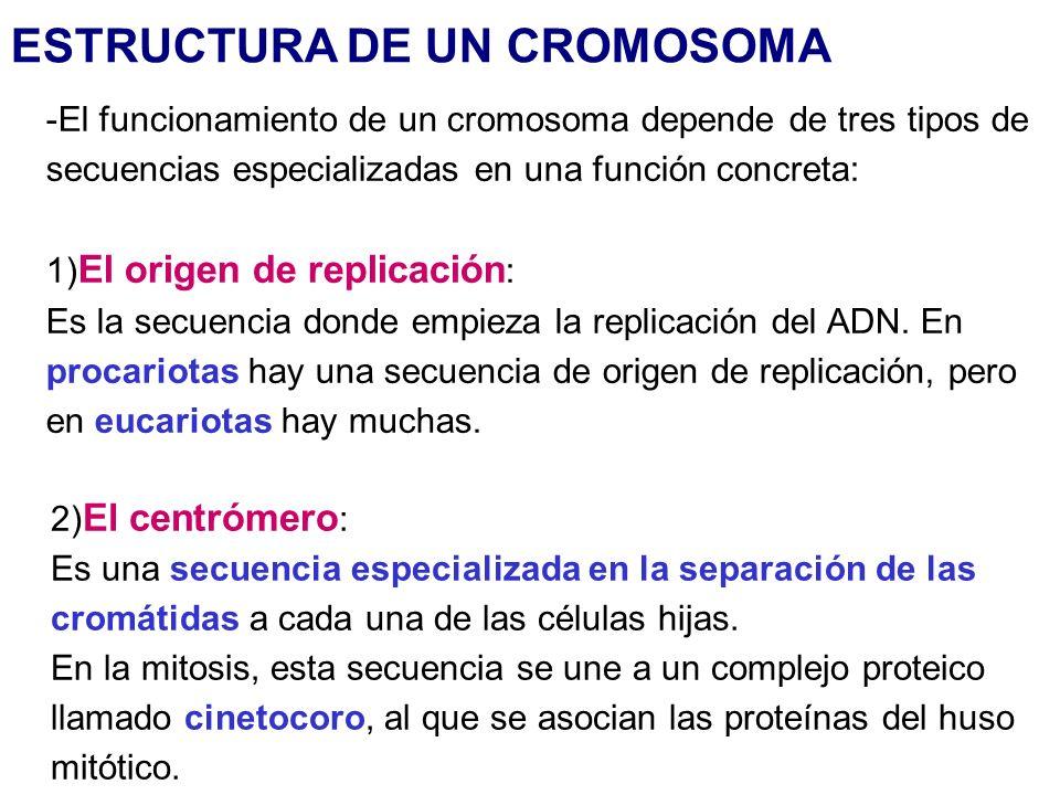 ESTRUCTURA DE UN CROMOSOMA -El funcionamiento de un cromosoma depende de tres tipos de secuencias especializadas en una función concreta: 1) El origen