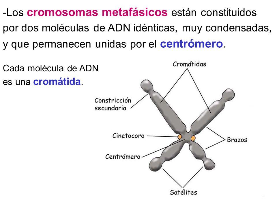 -Los cromosomas metafásicos están constituidos por dos moléculas de ADN idénticas, muy condensadas, y que permanecen unidas por el centrómero. Cada mo