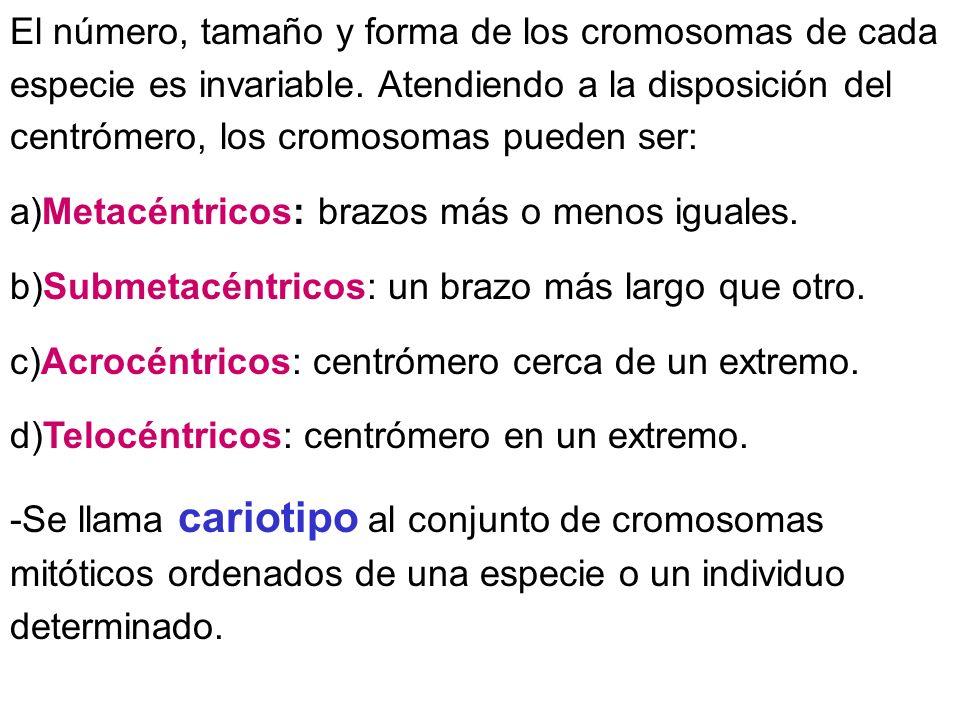 El número, tamaño y forma de los cromosomas de cada especie es invariable. Atendiendo a la disposición del centrómero, los cromosomas pueden ser: a)Me