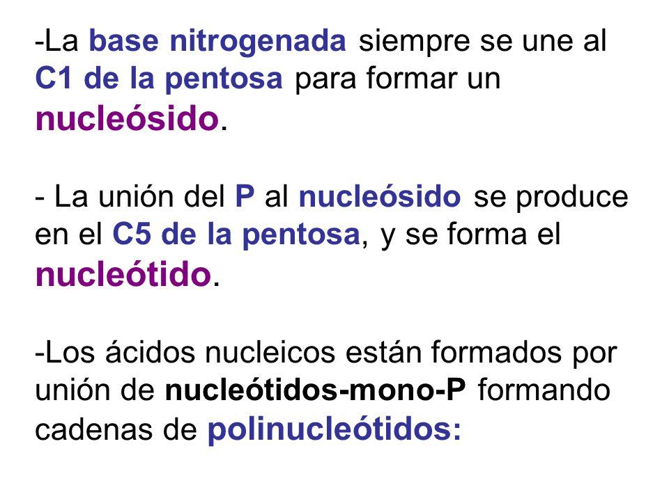 - La base nitrogenada siempre se une al C1 de la pentosa para formar un nucleósido. - La unión del P al nucleósido se produce en el C5 de la pentosa,