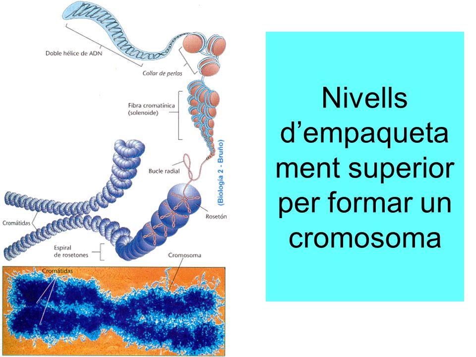 Nivells dempaqueta ment superior per formar un cromosoma