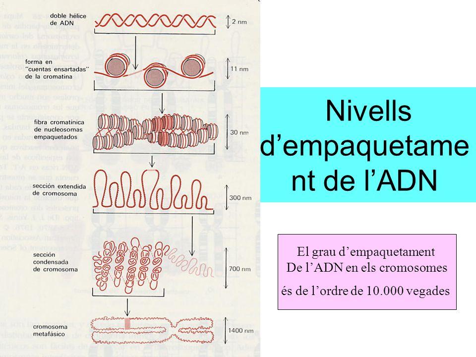 Nivells dempaquetame nt de lADN El grau dempaquetament De lADN en els cromosomes és de lordre de 10.000 vegades