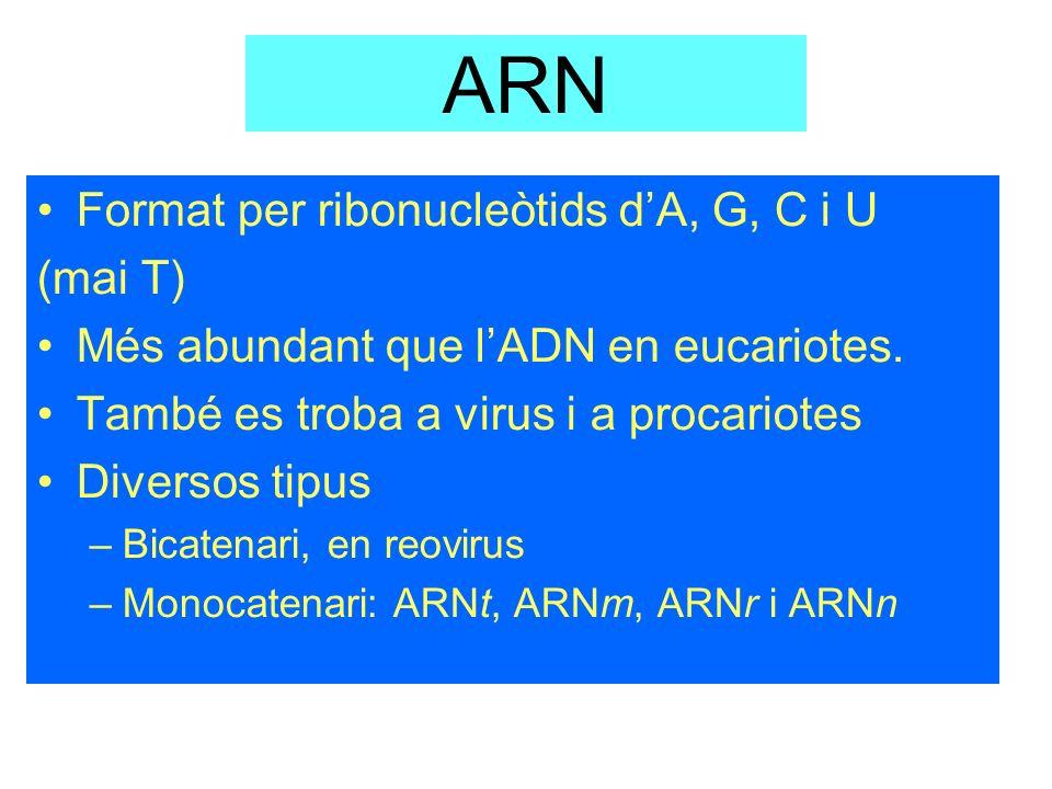 ARN Format per ribonucleòtids dA, G, C i U (mai T) Més abundant que lADN en eucariotes. També es troba a virus i a procariotes Diversos tipus –Bicaten
