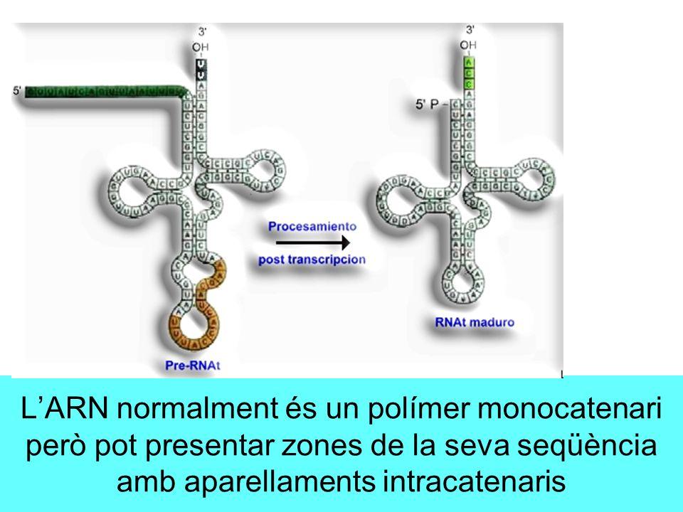 LARN normalment és un polímer monocatenari però pot presentar zones de la seva seqüència amb aparellaments intracatenaris