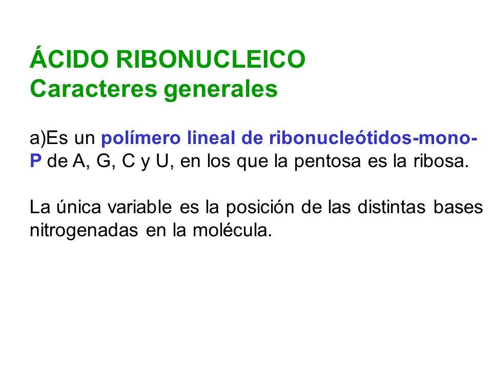 ÁCIDO RIBONUCLEICO Caracteres generales a)Es un polímero lineal de ribonucleótidos-mono- P de A, G, C y U, en los que la pentosa es la ribosa. La únic