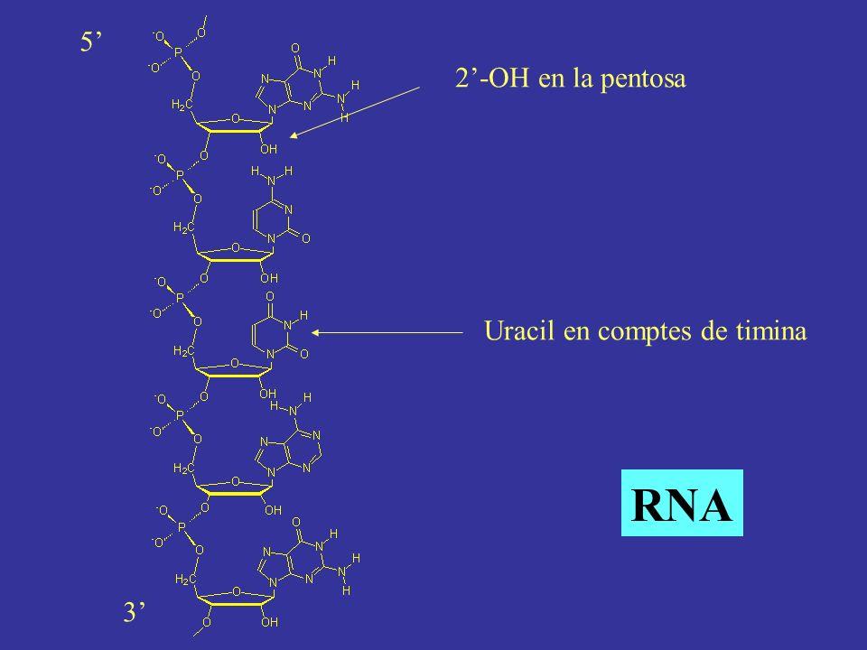 Uracil en comptes de timina 2-OH en la pentosa 5 3 RNA