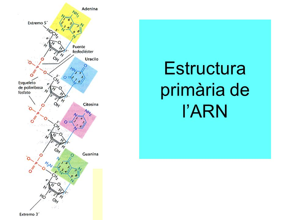 Estructura primària de lARN