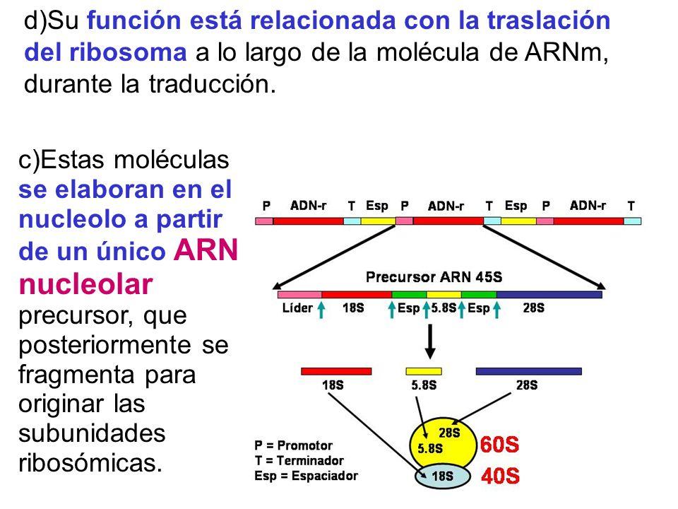 d)Su función está relacionada con la traslación del ribosoma a lo largo de la molécula de ARNm, durante la traducción. c)Estas moléculas se elaboran e
