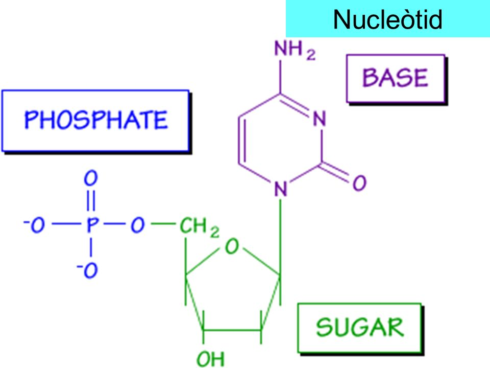 Estructura secundària de lADN Dues cadenes enfrontades i unides per les bases nitrogenades