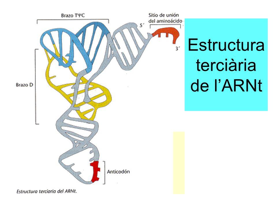 Estructura terciària de lARNt