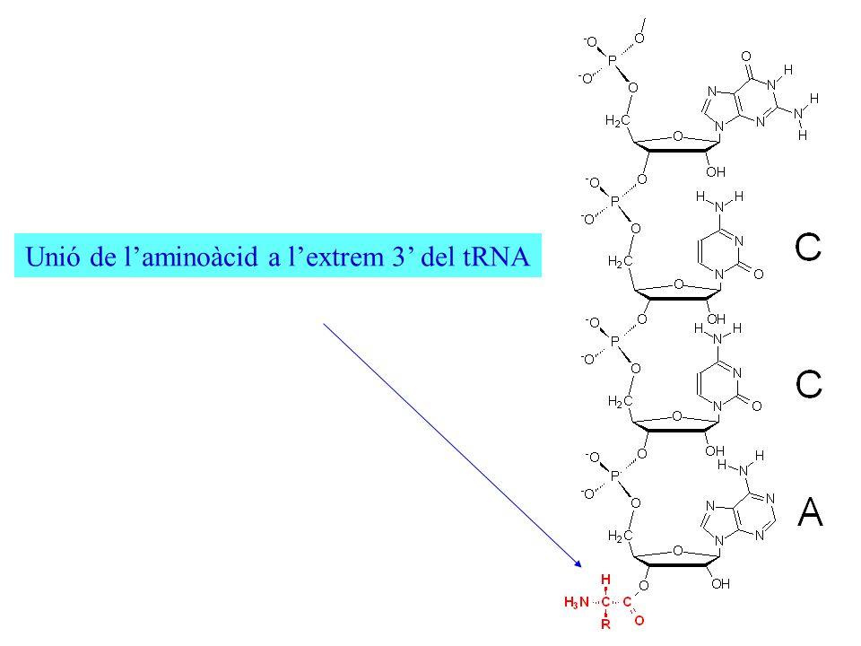 Unió de laminoàcid a lextrem 3 del tRNA