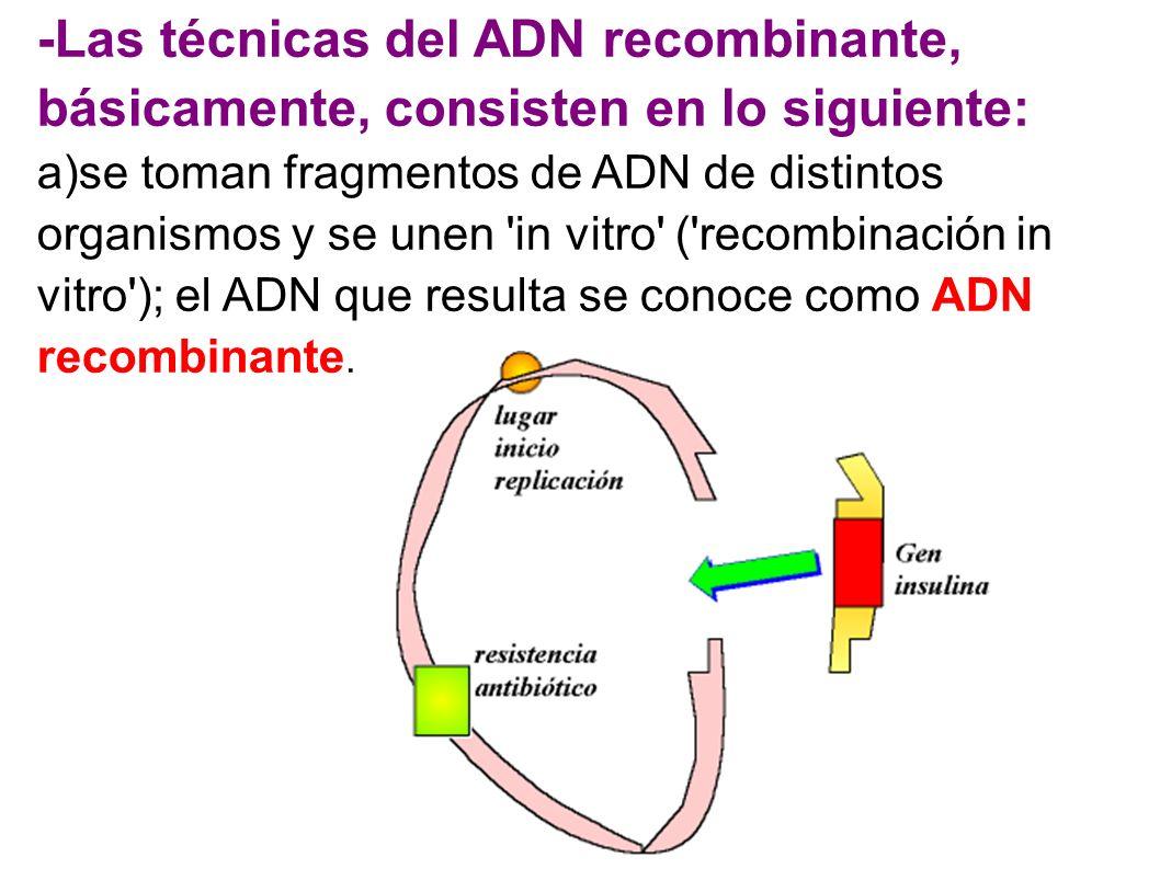-Las técnicas del ADN recombinante, básicamente, consisten en lo siguiente: a)se toman fragmentos de ADN de distintos organismos y se unen 'in vitro'