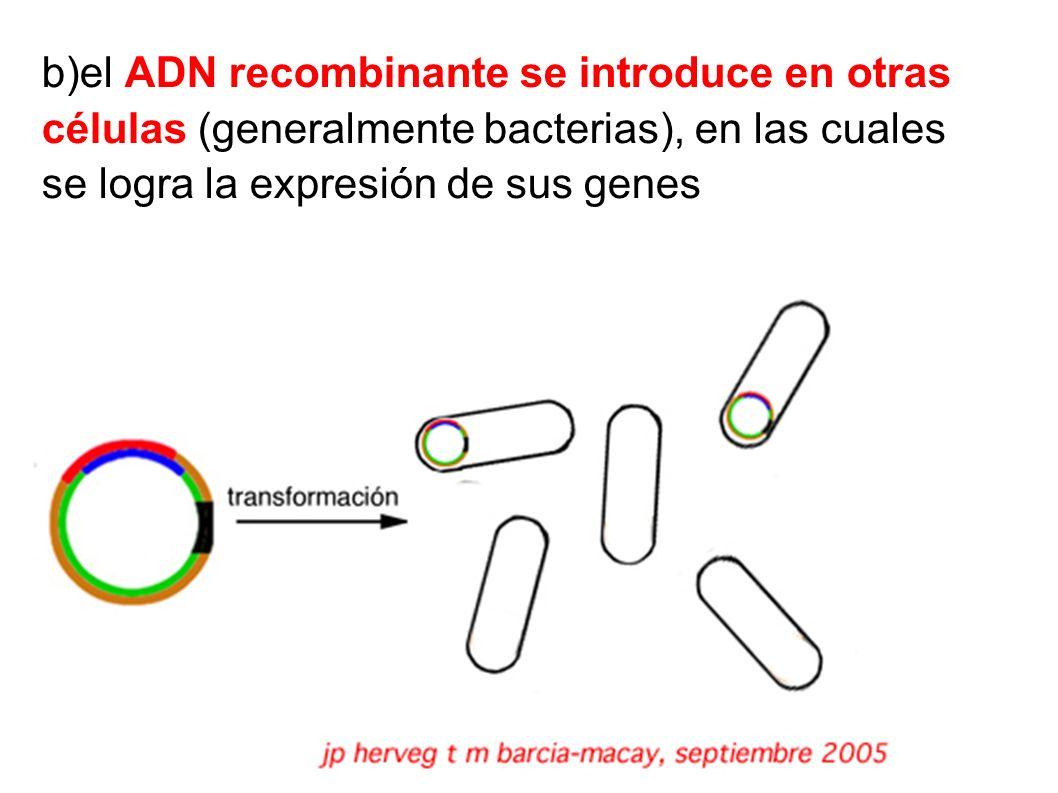b)el ADN recombinante se introduce en otras células (generalmente bacterias), en las cuales se logra la expresión de sus genes