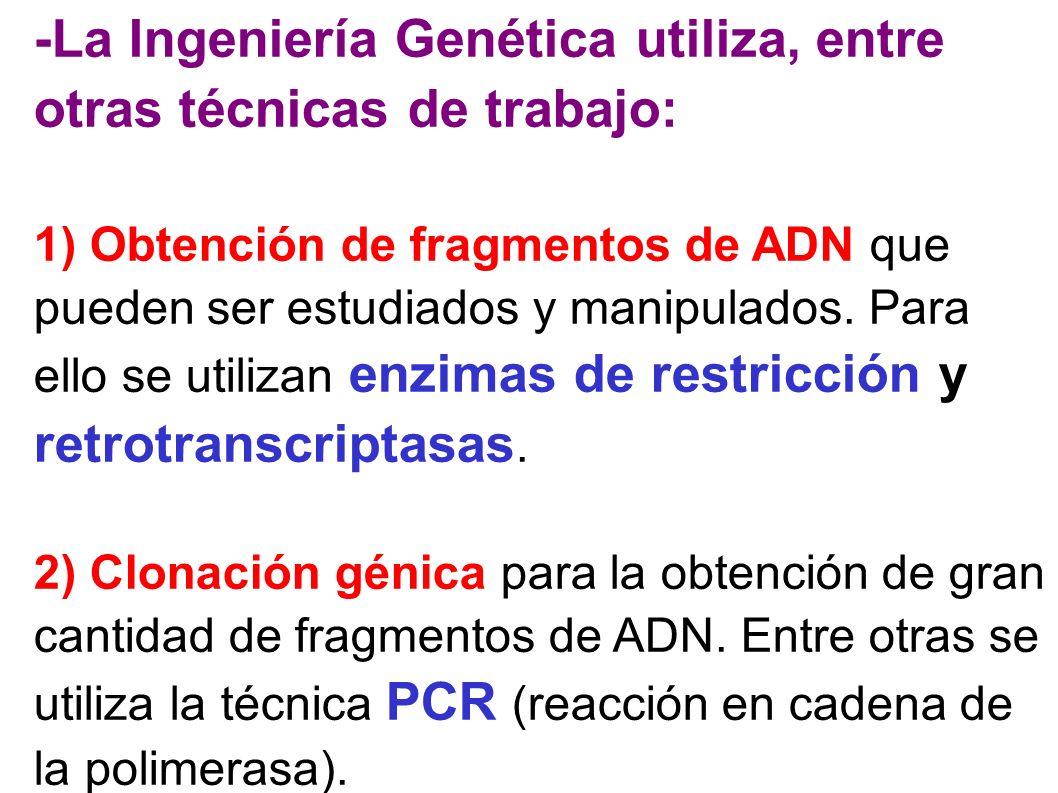 -La Ingeniería Genética utiliza, entre otras técnicas de trabajo: 1) Obtención de fragmentos de ADN que pueden ser estudiados y manipulados. Para ello