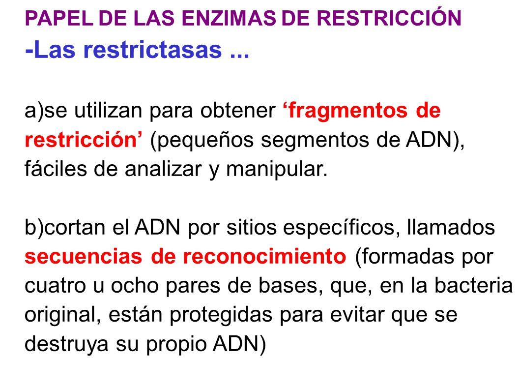 PAPEL DE LAS ENZIMAS DE RESTRICCIÓN - Las restrictasas... a)se utilizan para obtener fragmentos de restricción (pequeños segmentos de ADN), fáciles de