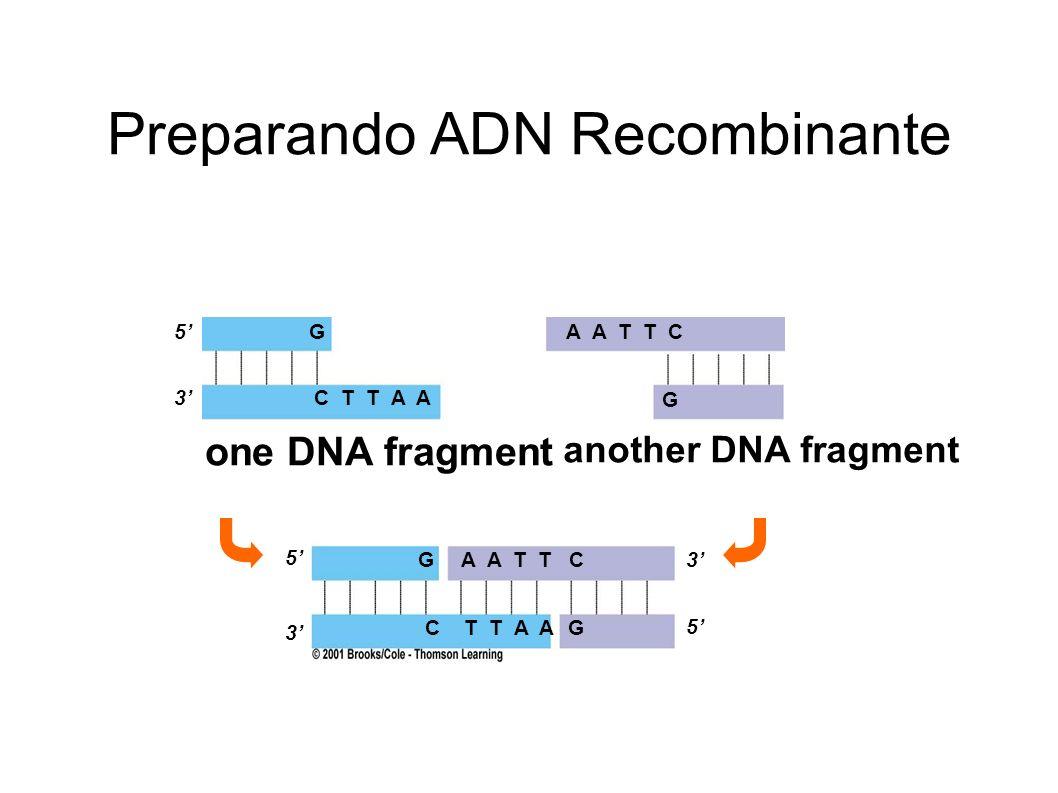 Preparando ADN Recombinante 5 3 G C T T A A A A T T C G G C T T A AG 3 5 one DNA fragment another DNA fragment 3 5