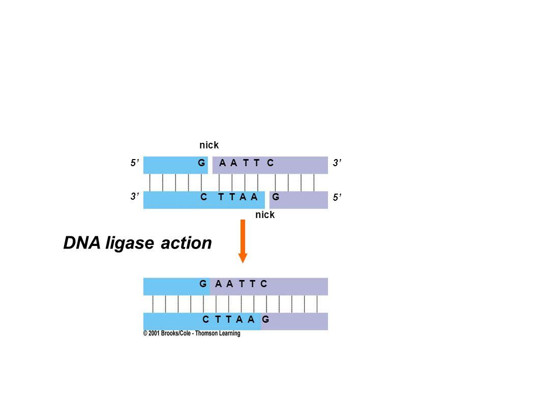 nick 5 3 3 5 GA A T T C C T T A AG nick GA A T T C C T T A AG DNA ligase action