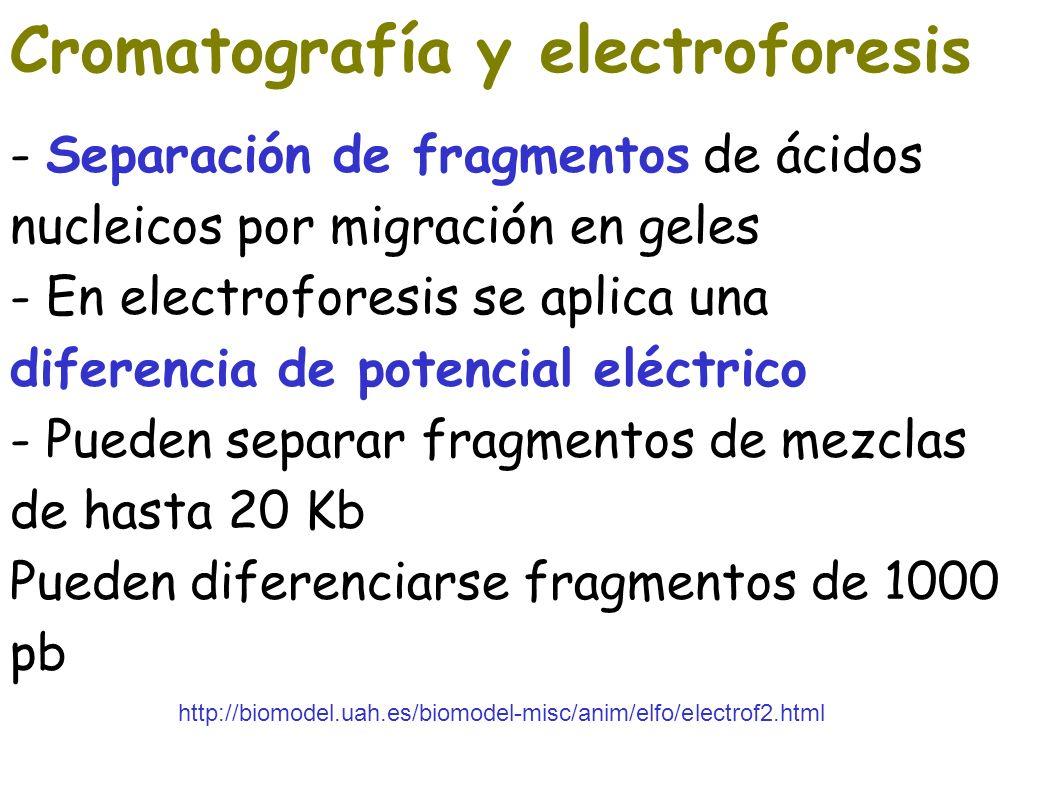 Cromatografía y electroforesis - Separación de fragmentos de ácidos nucleicos por migración en geles - En electroforesis se aplica una diferencia de p