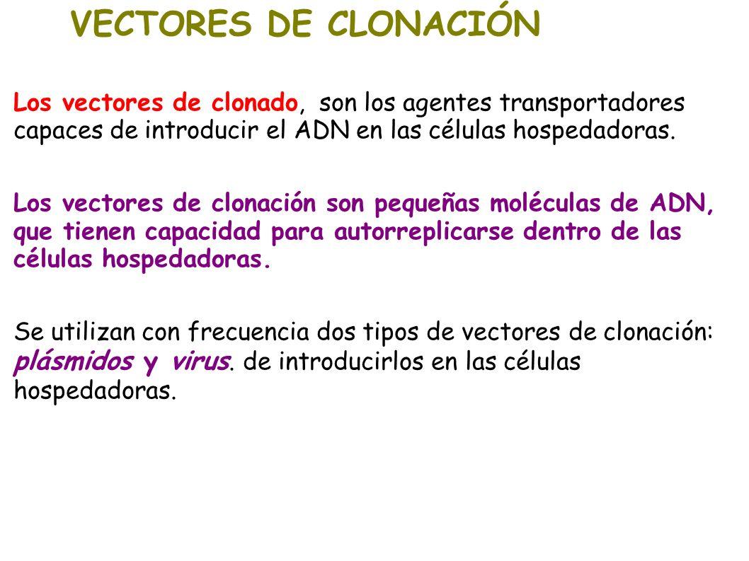 VECTORES DE CLONACIÓN Los vectores de clonado, son los agentes transportadores capaces de introducir el ADN en las células hospedadoras. Los vectores