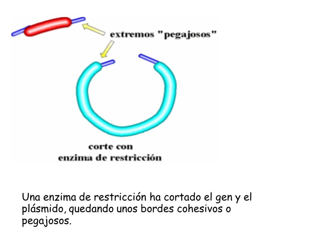 Una enzima de restricción ha cortado el gen y el plásmido, quedando unos bordes cohesivos o pegajosos.