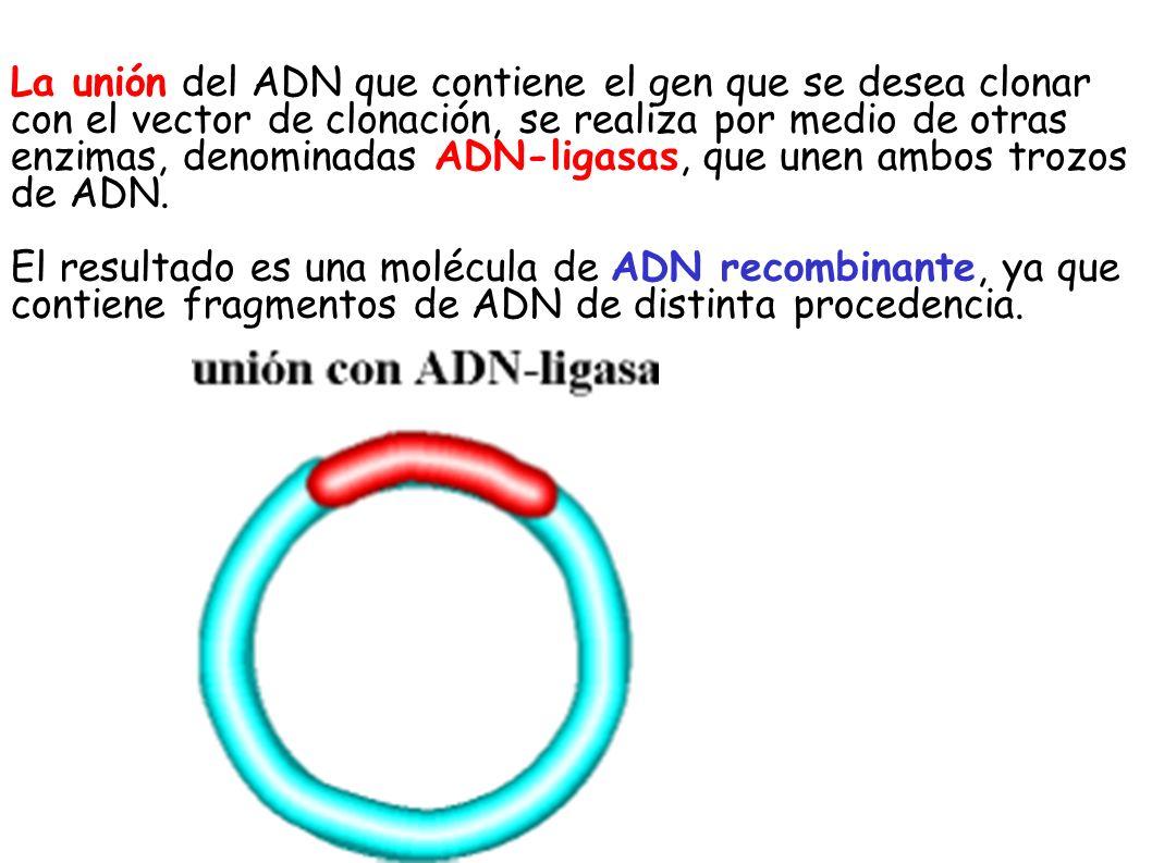 La unión del ADN que contiene el gen que se desea clonar con el vector de clonación, se realiza por medio de otras enzimas, denominadas ADN-ligasas, q