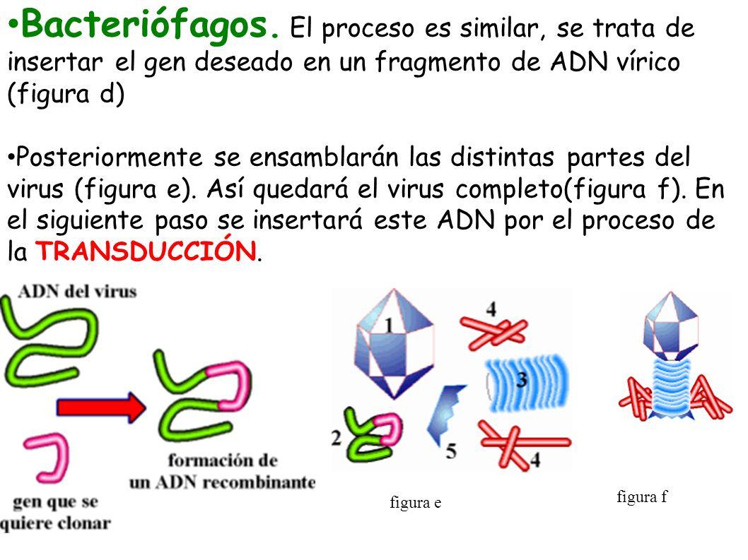 Bacteriófagos. El proceso es similar, se trata de insertar el gen deseado en un fragmento de ADN vírico (figura d) Posteriormente se ensamblarán las d