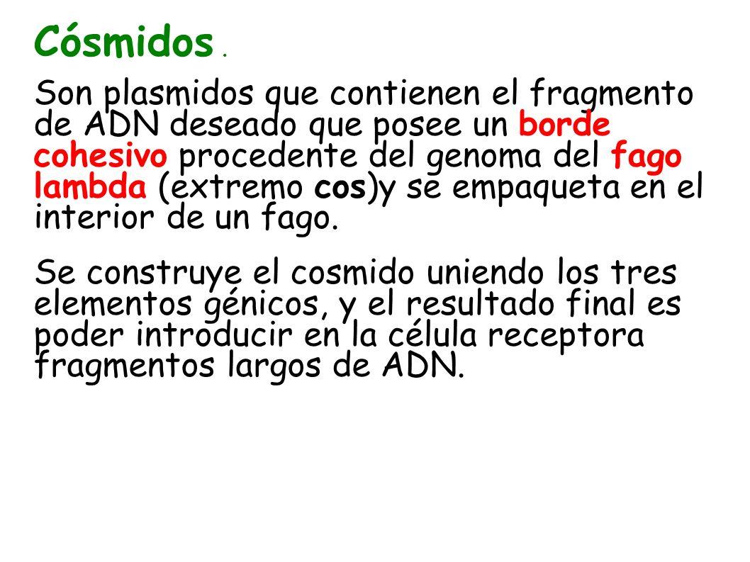 Cósmidos. Son plasmidos que contienen el fragmento de ADN deseado que posee un borde cohesivo procedente del genoma del fago lambda (extremo cos)y se