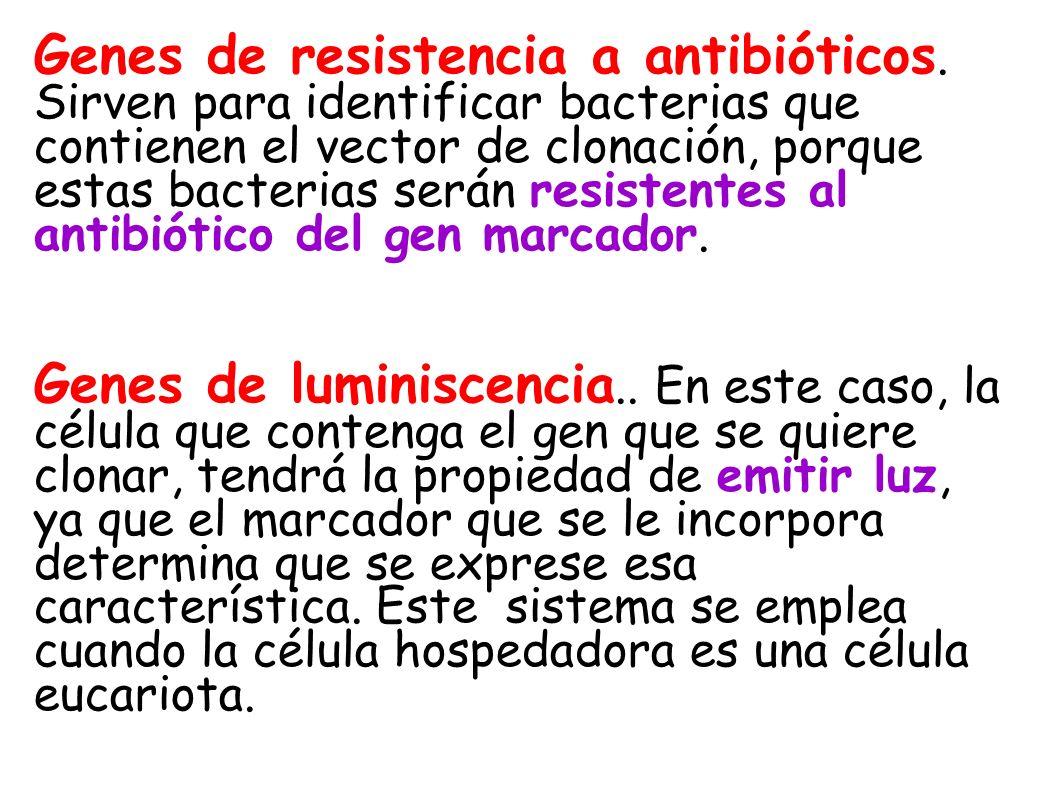 Genes de resistencia a antibióticos. Sirven para identificar bacterias que contienen el vector de clonación, porque estas bacterias serán resistentes