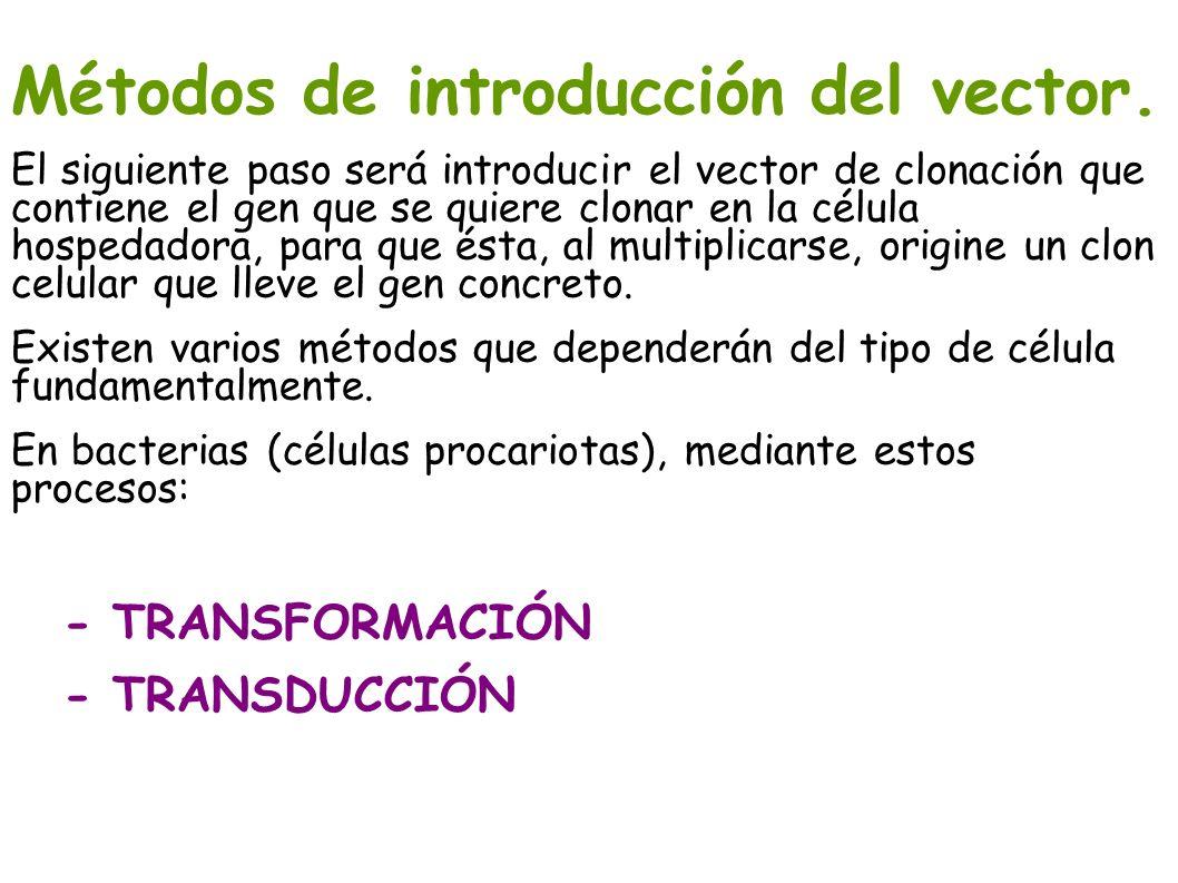 Métodos de introducción del vector. El siguiente paso será introducir el vector de clonación que contiene el gen que se quiere clonar en la célula hos