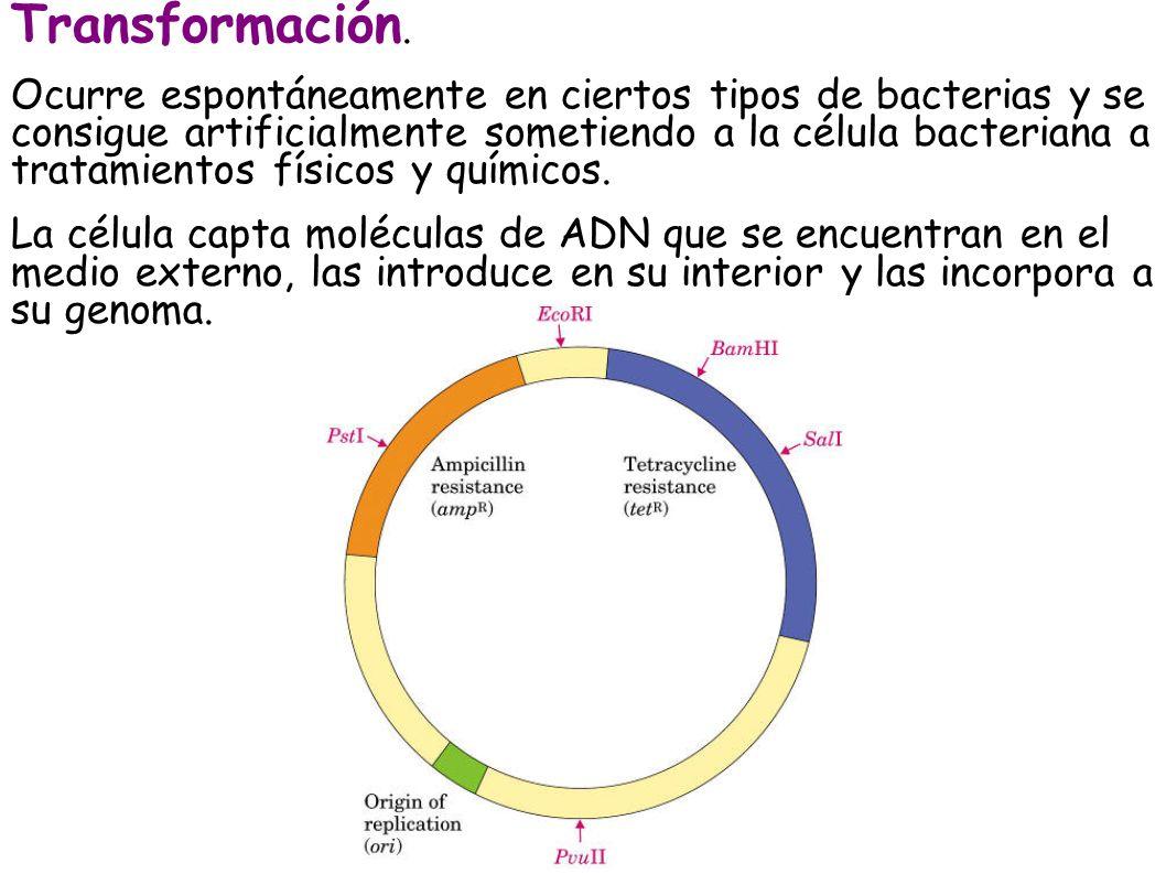 Transformación. Ocurre espontáneamente en ciertos tipos de bacterias y se consigue artificialmente sometiendo a la célula bacteriana a tratamientos fí