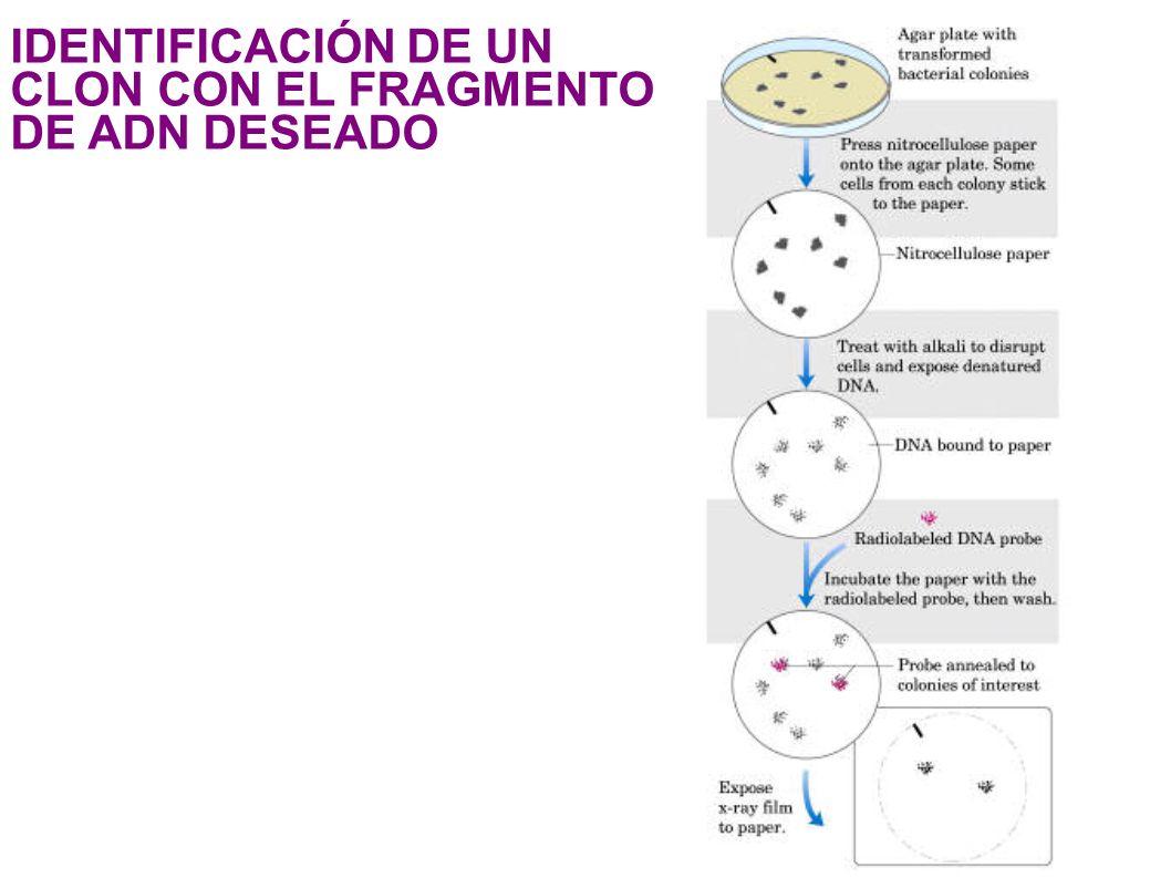 1 ! &- 1# '! #&# - &< IDENTIFICACIÓN DE UN CLON CON EL FRAGMENTO DE ADN DESEADO