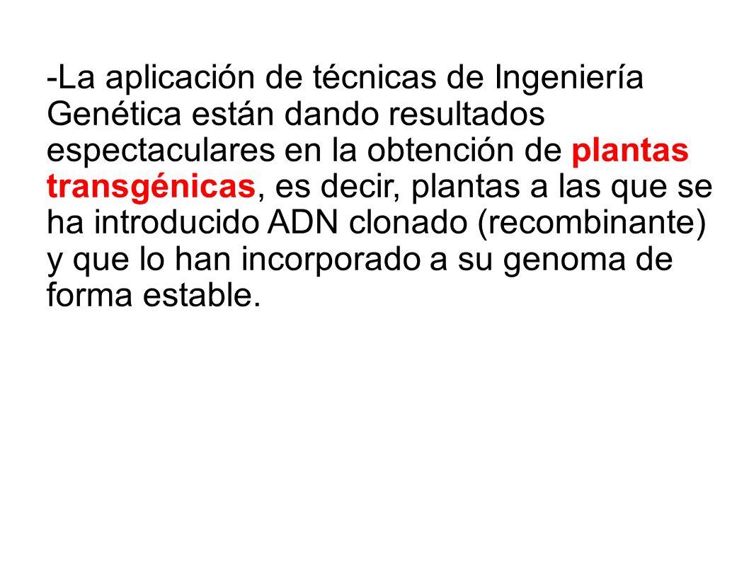 -La aplicación de técnicas de Ingeniería Genética están dando resultados espectaculares en la obtención de plantas transgénicas, es decir, plantas a l