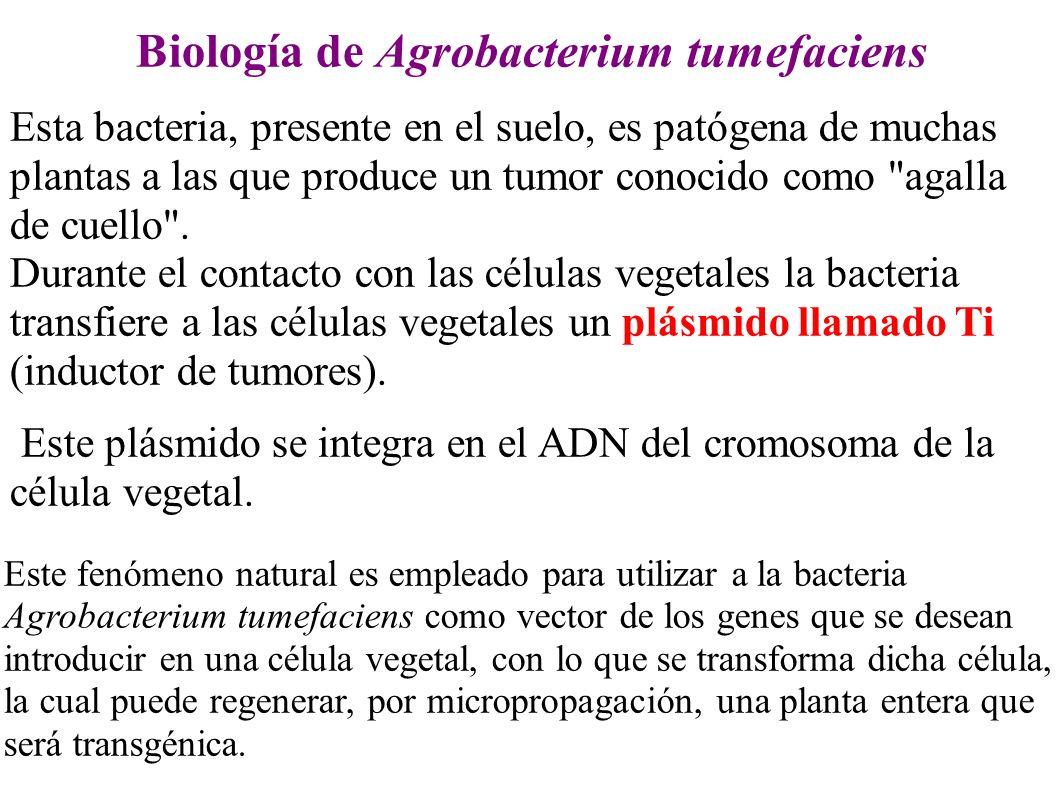 Biología de Agrobacterium tumefaciens Esta bacteria, presente en el suelo, es patógena de muchas plantas a las que produce un tumor conocido como