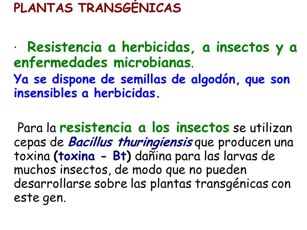 PLANTAS TRANSGÉNICAS · Resistencia a herbicidas, a insectos y a enfermedades microbianas. Ya se dispone de semillas de algodón, que son insensibles a