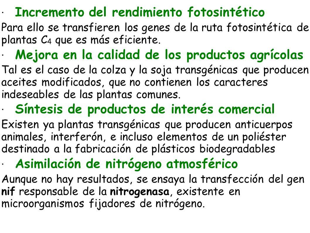 · Incremento del rendimiento fotosintético Para ello se transfieren los genes de la ruta fotosintética de plantas C 4 que es más eficiente. · Mejora e