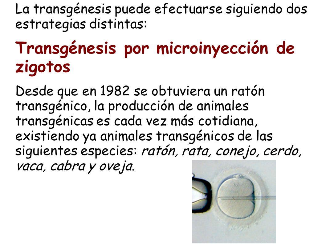 La transgénesis puede efectuarse siguiendo dos estrategias distintas: Transgénesis por microinyección de zigotos Desde que en 1982 se obtuviera un rat