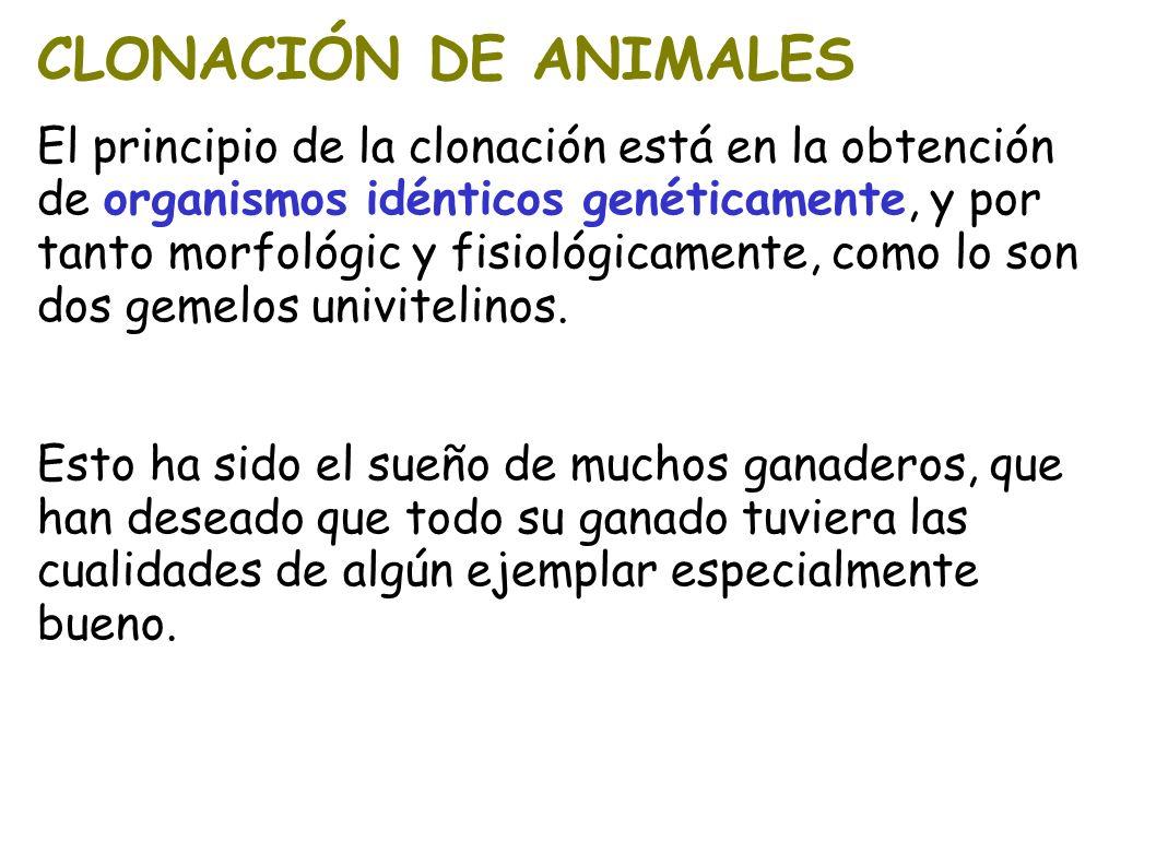 CLONACIÓN DE ANIMALES El principio de la clonación está en la obtención de organismos idénticos genéticamente, y por tanto morfológic y fisiológicamen