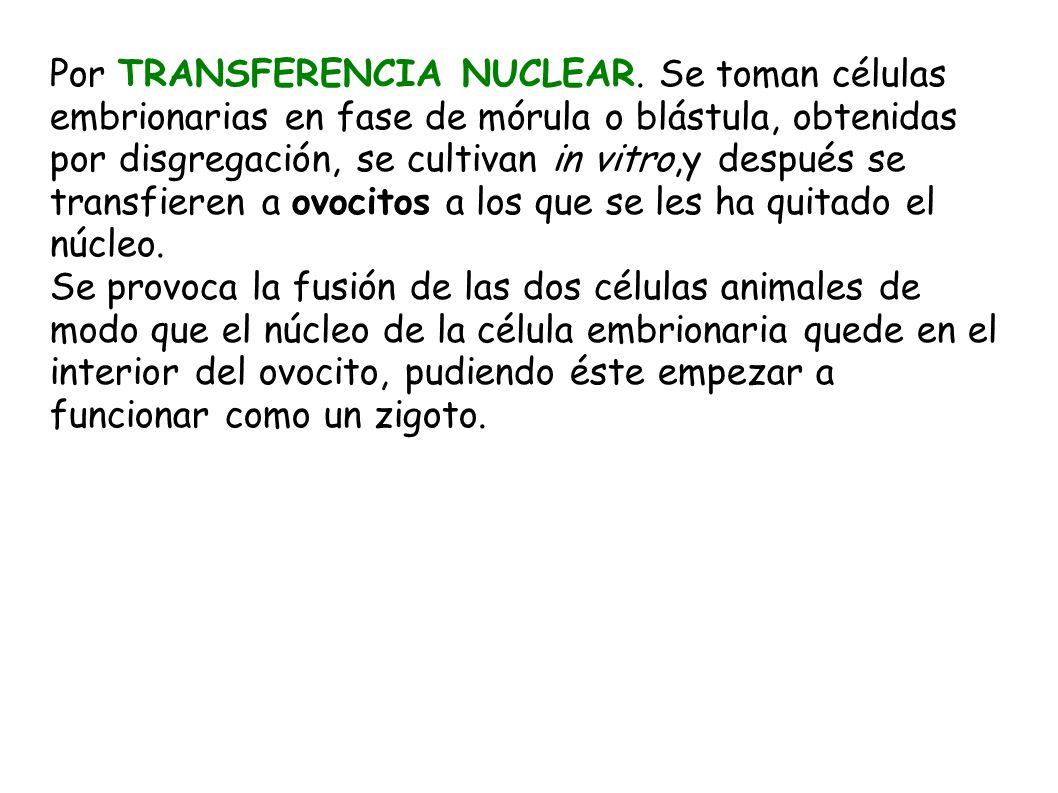 Por TRANSFERENCIA NUCLEAR. Se toman células embrionarias en fase de mórula o blástula, obtenidas por disgregación, se cultivan in vitro,y después se t