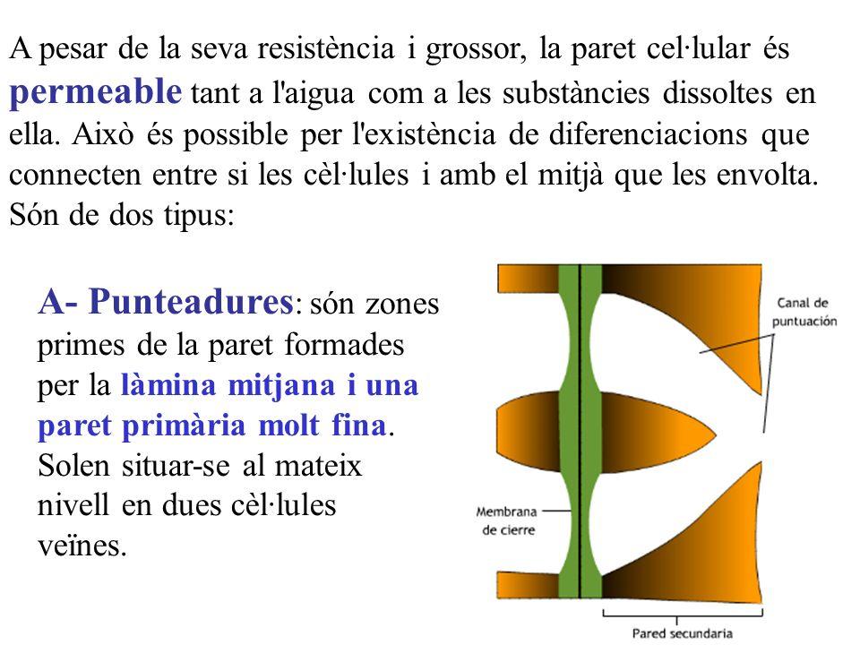 A pesar de la seva resistència i grossor, la paret cel·lular és permeable tant a l'aigua com a les substàncies dissoltes en ella. Això és possible per
