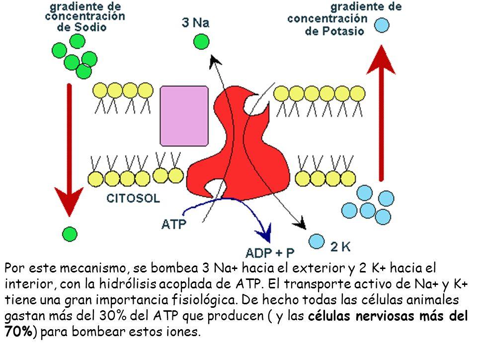 Por este mecanismo, se bombea 3 Na+ hacia el exterior y 2 K+ hacia el interior, con la hidrólisis acoplada de ATP. El transporte activo de Na+ y K+ ti