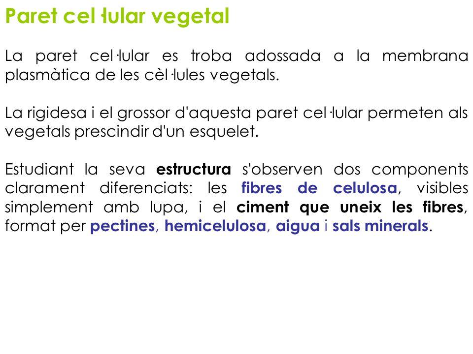 Paret cel·lular vegetal La paret cel·lular es troba adossada a la membrana plasmàtica de les cèl·lules vegetals. La rigidesa i el grossor d'aquesta pa