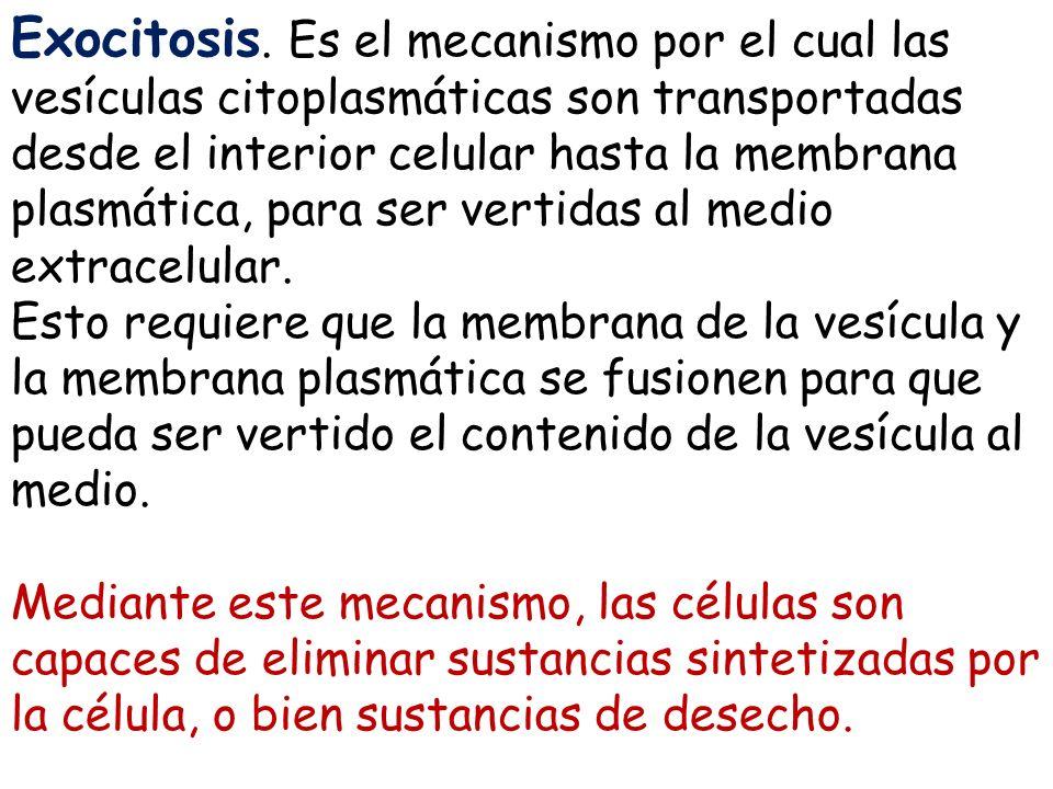 Exocitosis. Es el mecanismo por el cual las vesículas citoplasmáticas son transportadas desde el interior celular hasta la membrana plasmática, para s