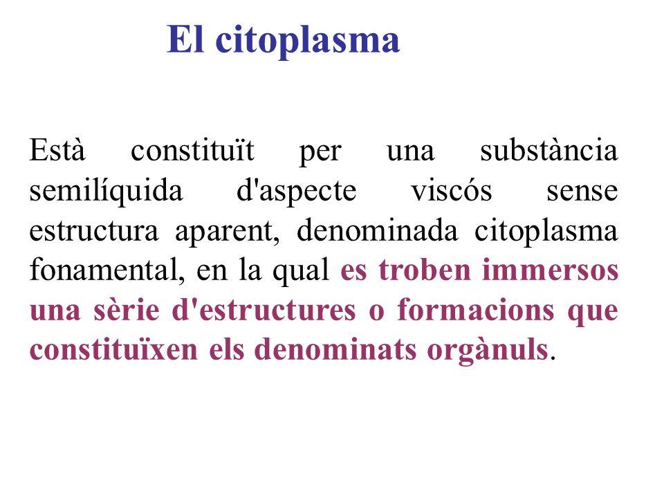 El citoplasma Està constituït per una substància semilíquida d'aspecte viscós sense estructura aparent, denominada citoplasma fonamental, en la qual e